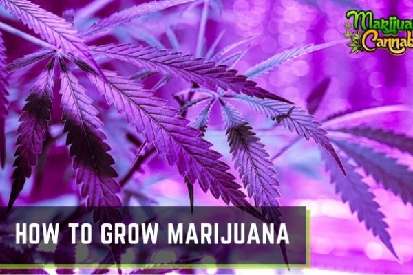 How-to-Grow-Marijuana