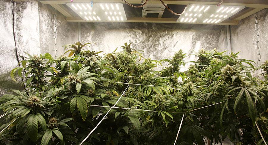 Cannabis-Grow-Room