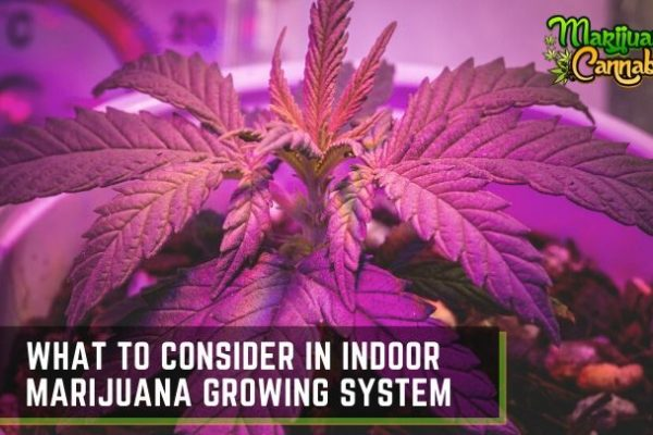 Indoor Marijuana Growing System