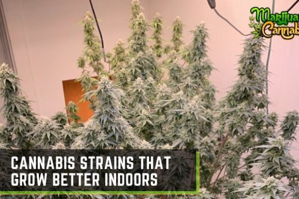 best-strain-to-grow-indoors