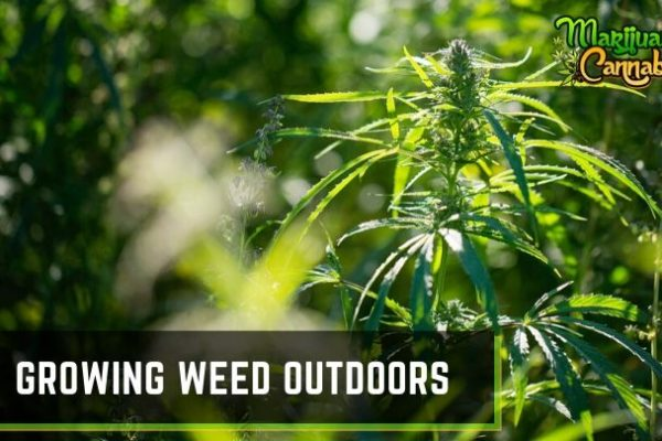 growing weed outdoors