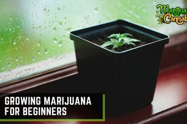 Growing-Marijuana-For-Beginners