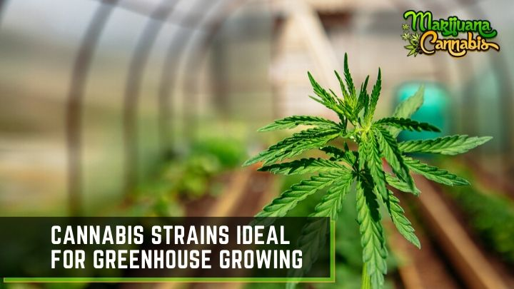 best-strains-to-grow-in-a-greenhouse