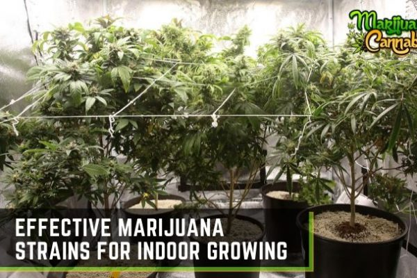 best indoor marijuana strains