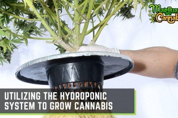 cannabis hydroponic system