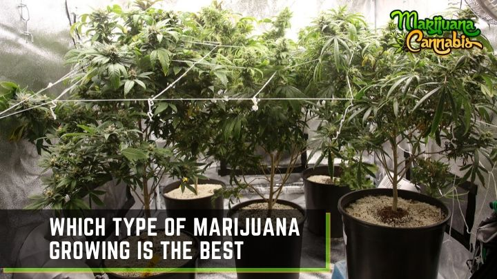 how to grow marijuana indoor and outdoor