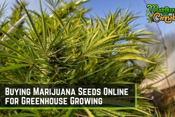 growing marijuana in a greenhouse