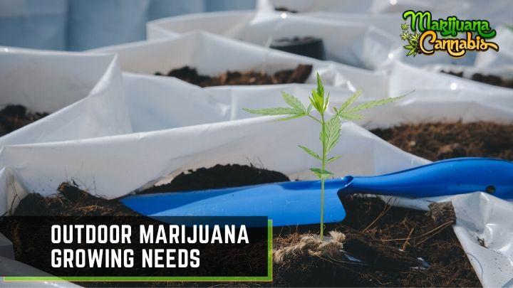 outdoor-marijuana-growing (1)