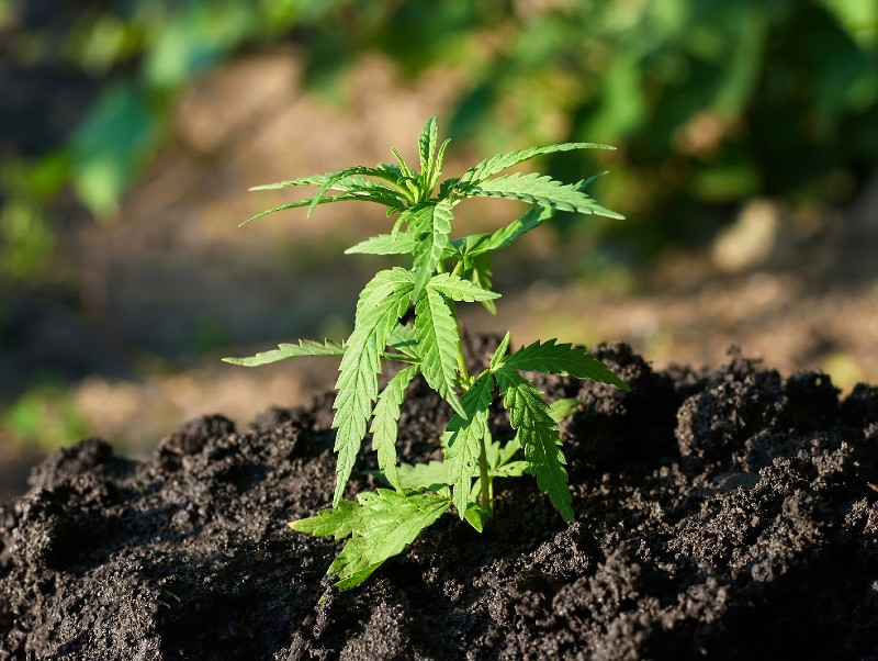 Benefits-of-transplanting-cannabis
