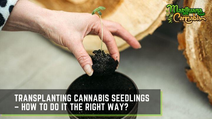transplanting cannabis