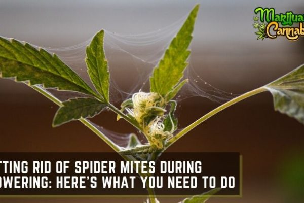 how to get rid of spider mites during flowering