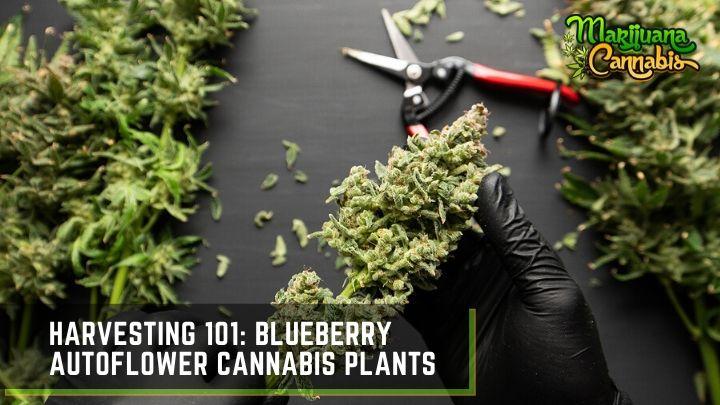 blueberry-autoflower