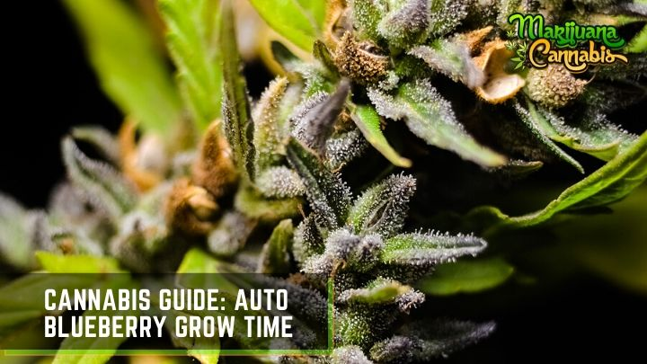 blueberry-feminized-seeds
