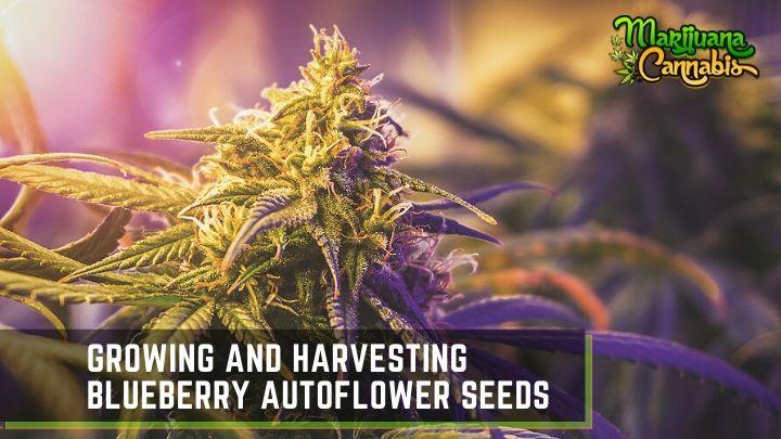 Blueberry-Autoflower-Seeds