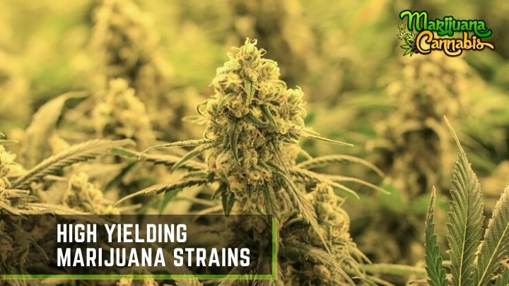 High-Yielding-Marijuana-Strains