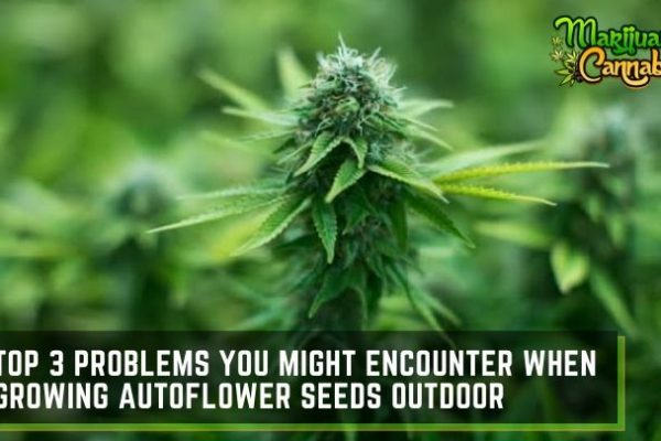 outdoor-autoflower-seeds