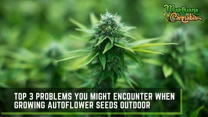 outdoor-autoflower-seeds